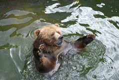 Brown bear   in water. Head of a brown bear   in water in zoo Stock Photo