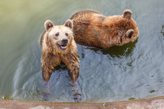 Brown bear in the water Royalty Free Stock Images