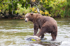 Brown bear in the water  at Brooks Falls Stock Photos