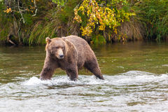 Brown bear in the water  at Brooks Falls Royalty Free Stock Photography