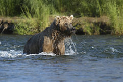 Brown bear with water dripping. From his head while standing in Brooks River Stock Image