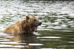 Brown bear in water growls menacingly. Kamchatka, Russia. Brown bear in water growls menacingly. Kamchatka, Russia Royalty Free Stock Photos