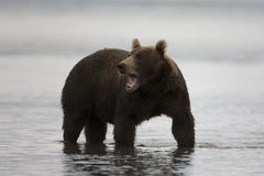 Brown bear is in the water Royalty Free Stock Image