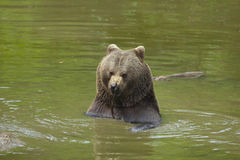 Brown bear in water Stock Images