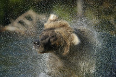 Brown bear and water spray Royalty Free Stock Images