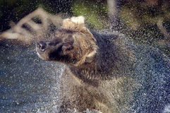 Brown bear and water spray Stock Image