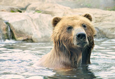 Brown Bear in Water Royalty Free Stock Image