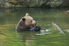 Brown bear in water stock image