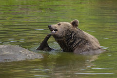 Brown bear in water royalty free stock photography