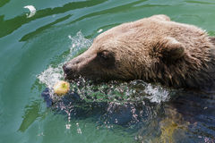 Brown bear in the water, zoo. Stock Photo