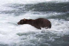 Brown Bear in a waterfall Royalty Free Stock Photo