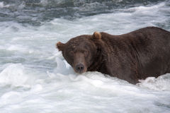 Brown Bear in a waterfall Royalty Free Stock Photography
