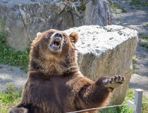 The brown bear waves a paw and growls. The brown bear waves a paw in the daytime Royalty Free Stock Images