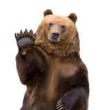 The brown bear welcomes (Ursus arctos). Royalty Free Stock Image