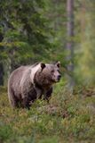 Brown bear with white-collar Stock Image