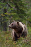 Brown bear with white-collar Royalty Free Stock Image