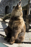 brown bear who catches a piece of apple Stock Photos