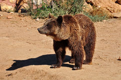 Brown bear wild animal Stock Photography