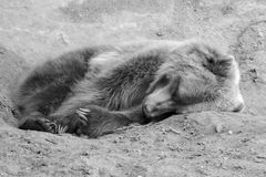 Brown Bear in the wild in black and white in soft focus Royalty Free Stock Image