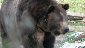 Brown bear in the wild. Video of brown bear in the wild stock video footage