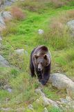 Brown Bear in the wild Stock Image