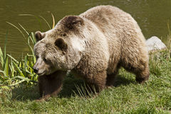 Brown Bear. In a Wildlife Park Royalty Free Stock Images