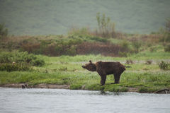 Brown bear in wildlife. Royalty Free Stock Photography