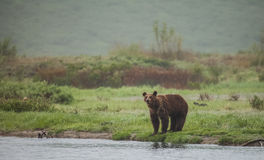 Brown bear in wildlife. Royalty Free Stock Photos
