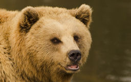 Brown Bear. Wildpark Forest Bayern Germany Stock Photography