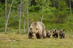 Free Brown Bear With Cubs Royalty Free Stock Images - 45120169