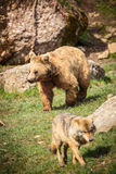 Brown Bear and Wolf. In the wild (Ursus arctos Stock Photos
