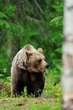 Brown bear in woods stock images