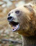 Brown Bear in the woods royalty free stock photo