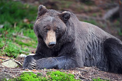 Brown Bear in the woods Royalty Free Stock Photos