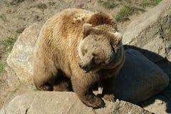 brown bear wspÓlnot europejskich, Zdjęcie Royalty Free