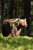 brown bear wspÓlnot europejskich, Zdjęcie Stock