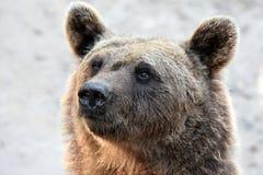 brown bear wspÓlnot europejskich, Zdjęcia Stock