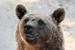 brown bear wspÓlnot europejskich, Obraz Stock