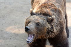 brown bear wspÓlnot europejskich, fotografia stock
