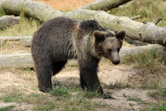 brown bear wspÓlnot europejskich, Obraz Royalty Free