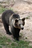 brown bear wspÓlnot europejskich, Obrazy Royalty Free