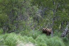 brown bear wyłania się las Zdjęcie Stock