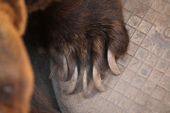 Brown bear (Ursus arctos) claw. Royalty Free Stock Images