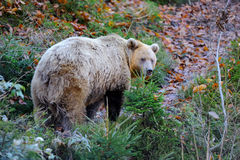 Brown bear & x28;Ursus arctos& x29; in nature Royalty Free Stock Image