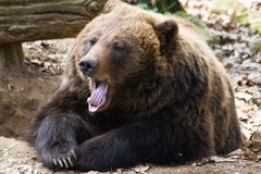 Brown bear yawning Stock Photo