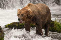Brown bear yawns beside green mossy rock Royalty Free Stock Images