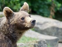 Brown Bear, Young Animal, Bear Royalty Free Stock Images