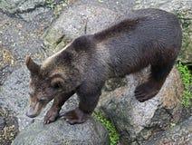 Brown bear 10 Royalty Free Stock Photo