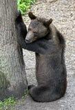 Brown bear 18 Royalty Free Stock Photo