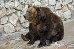 Brown bear in a zoo. Sitting in an amusing pose Royalty Free Stock Photo